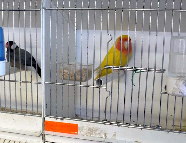 小鳥たちのさえずりにほれぼれ、パリ・シテ島の「小鳥市」