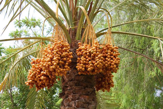 中近東・北アフリカ伝統の果実「デーツ」が愛される理由