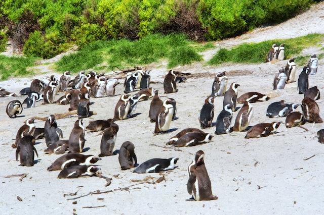 「こんなところにペンギン?」南アフリカの不思議な光景