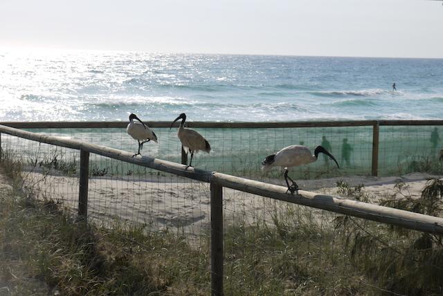 日本では絶滅危惧種の「トキ」、オーストラリアでは害鳥!?