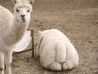 【GW】究極の癒し系動物、もふもふのアルパカに和む「胸キュンスポット」