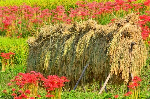 古代ロマンと秋風を感じながら・・・自転車で明日香村の史跡めぐり