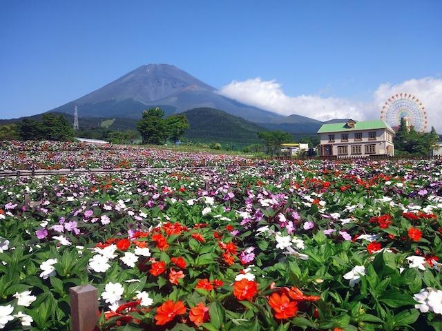 気分はプチオランダ旅行!富士山の裾野 天空の花畑