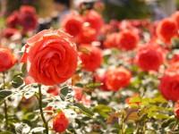 【都内近郊】秋を美しく彩るバラの名所3選
