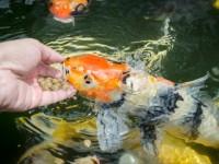 鯉に恋するおでかけスポット5選