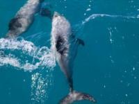 【ニュージーランド】超愛くるしい!世界最小のイルカが見られるアカロア湾クルーズ