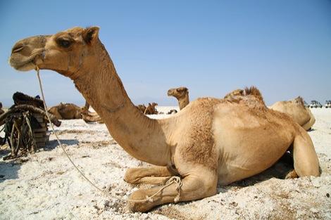 ラクダの画像 p1_8