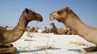 【ダナキル】見渡す限り、ラクダ!ラクダ!ラクダ!〜ここは駱駝星?〜