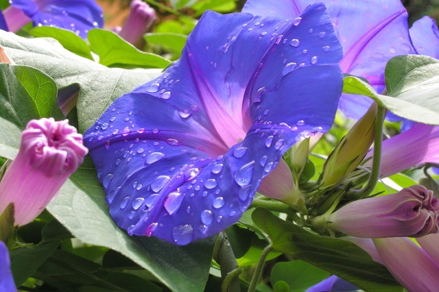 夏の風物詩・朝顔の奥深い魅力とは?