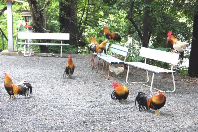 アジサイが咲き、鯉と鶏がゆったりと暮らす多摩の神域