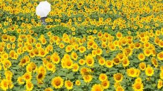 元気をくれる黄色い花、ひまわり畑でつかまえて