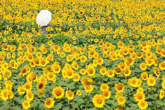 【今週末から】元気をくれる黄色い花、迷い込みたいひまわり畑5選