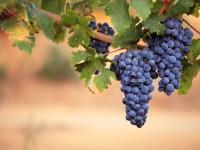 ブドウ狩りで最もおいしい果実を収穫するための3つの心構え