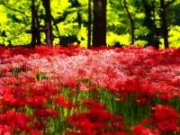 まるで真っ赤な絨毯!曼珠沙華の咲き誇る巾着田