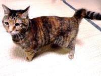 長崎では当たり前なのに全国では珍しい、幸運を連れてくる尾曲がり猫って知ってる?