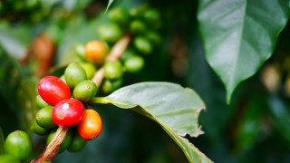 【コロンビア】そうだ!コーヒー農園を見学しよう!大自然の中で収穫体験