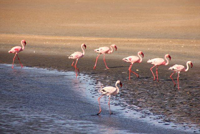 【アフリカ】フラミンゴたちの大群に遭遇!ピンクだらけの光景に圧倒