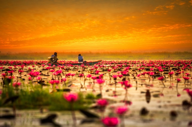 夢のようにロマンティック!一面に紅い睡蓮が咲き誇るタイの湖