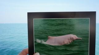 【香港】遭遇確率96%!幸運を運ぶピンクのイルカツアー