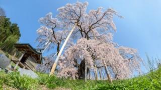国の天然記念物にも指定される【日本三大桜】が美しすぎる