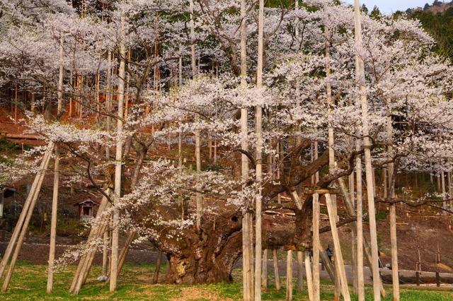 国の天然記念物にも指定される日本「三大桜」「五大桜」が美しすぎる