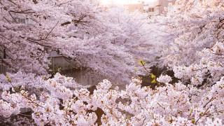 占い付き「さくらおみくじ箸」がお花見で盛り上がりそう!