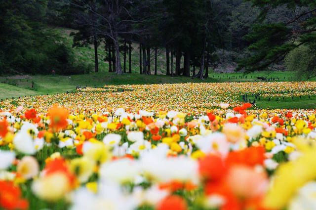 【連載第1回】都内近郊GWイベント「デートにもおすすめ!満開のお花畑5選」2016