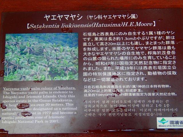石垣の癒しスポット!天然記念物のヤエヤマヤシ群落を探検