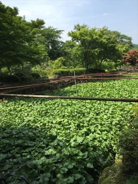 【伊豆】日本一のわさびの郷。自然が気持ちよい「筏場のわさび田」
