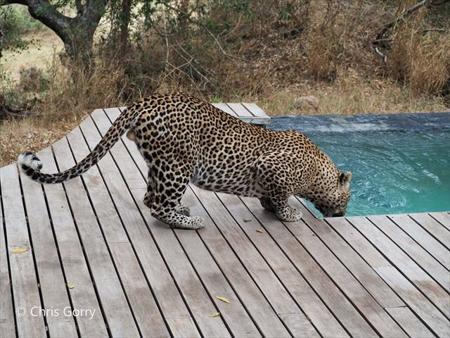 象もプールに遊びに来る!南アフリカのラグジュアリーなサファリホテル