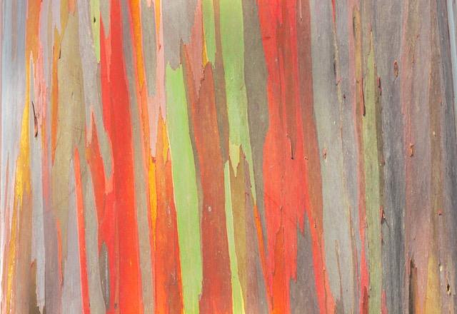 何かいいことありそう?自然が生み出す虹色の「Rainbow Eucalyptus Tree」