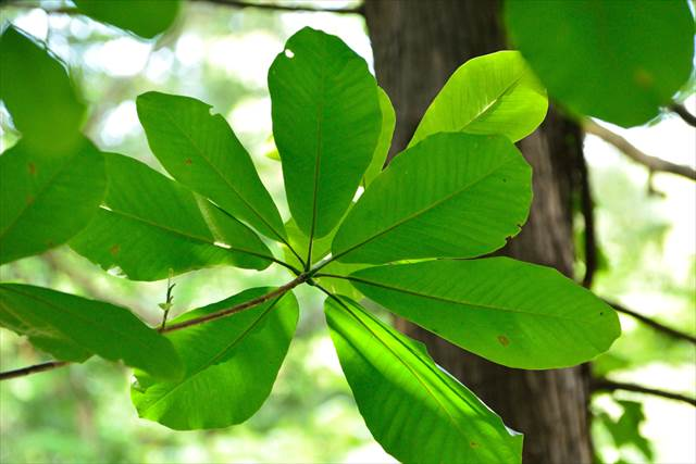 【TABIZINE自由研究部】自然の葉っぱで納豆は作れる?