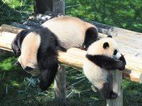 2016年誕生の赤ちゃんパンダに会いに、パンダ8頭が暮らす南紀白浜「アドベンチャーワールド」へ