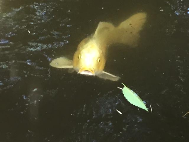 都内で見られるのはここだけ!鮮やかに輝く「ヒカリモ」を見に実篤公園へ