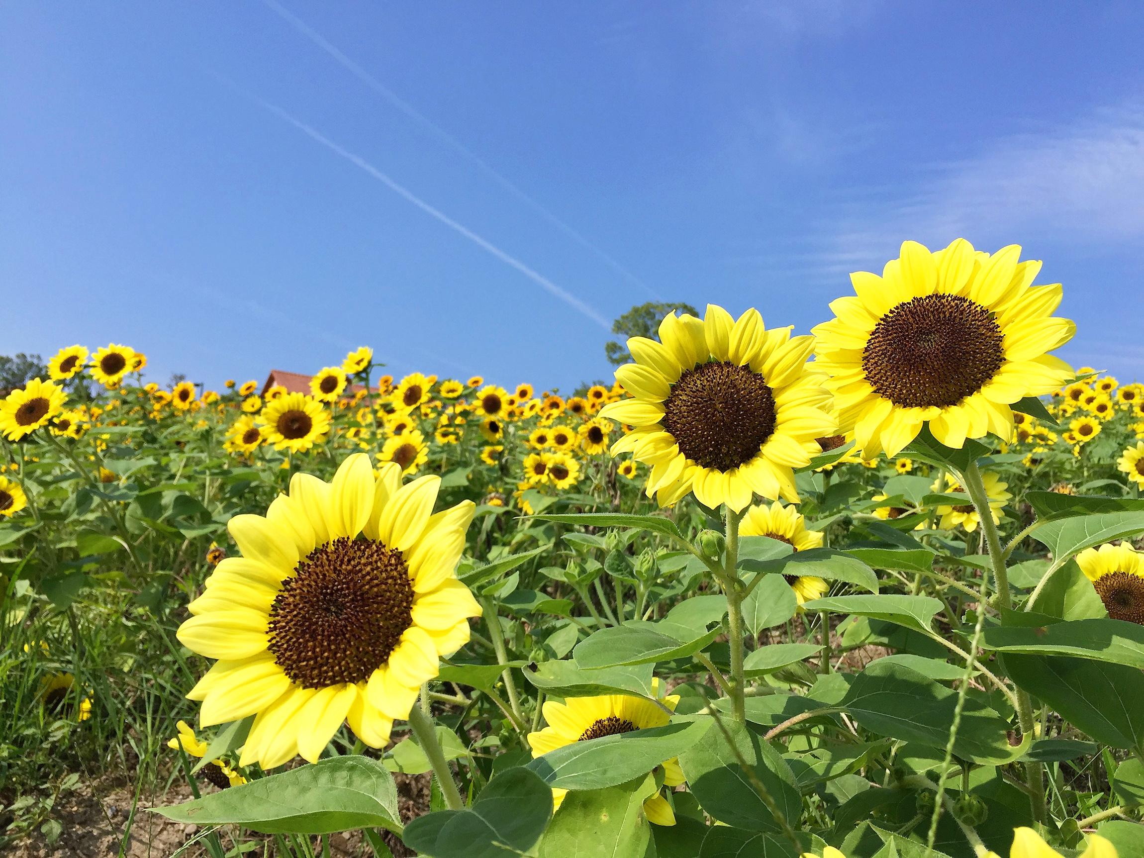 圧巻の景色!6万本のひまわりフェスタ(大阪ハーベストの丘)