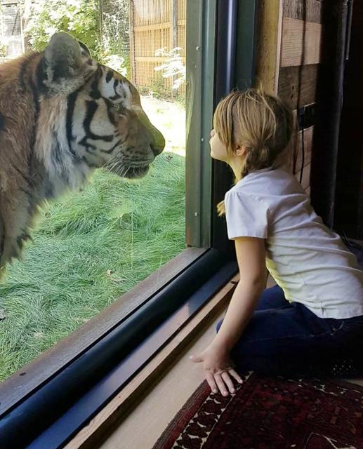 イギリスでトラと目覚める朝にほっこり!サファリに宿泊。