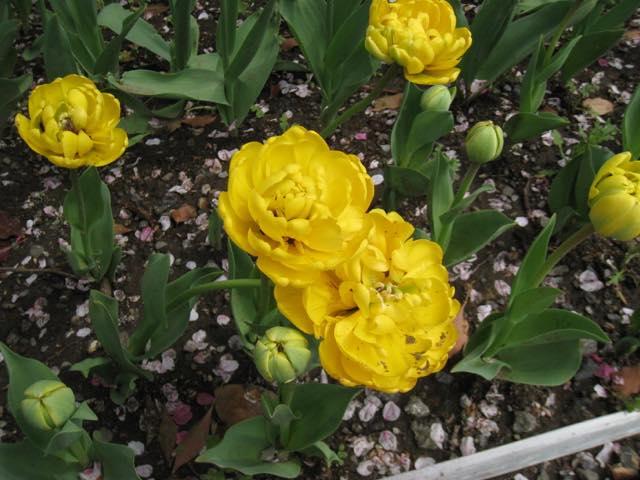 キュートで妖艶。春爛漫、色とりどりのチューリップを愛でる