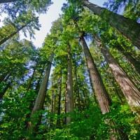 みるだけで小人になった気分な、世界一高い木「レッドウッド」