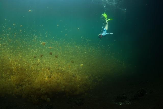 無数のクラゲがつくる魅惑の世界!「ジェリーフィッシュレイク」