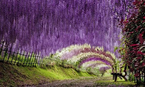 【日本】世界の人々が圧倒された「藤の絶景」