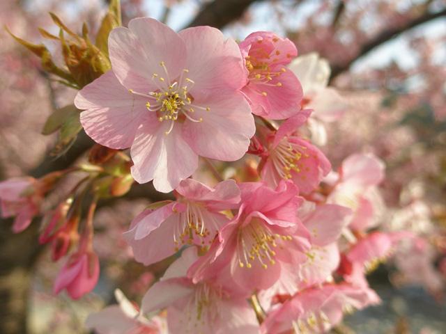 【真冬の桜】7分咲きを狙いたい「河津桜」、今年の見ごろは?
