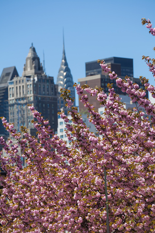 【摩天楼を彩る桜】ニューヨークの花見名所「ルーズベルト・アイランド」