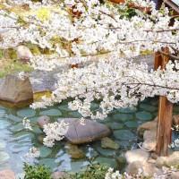 温泉で愛でる満開の桜。春の小旅行に「花見露天」という選択