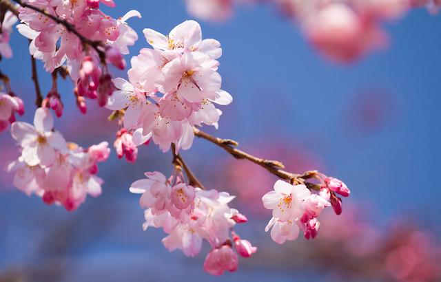 温泉から満開の桜を!春の小旅行に「花見露天」という選択
