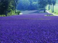 【関東】紫の絨毯はまるでメルヘンの世界!たんばらラベンダーパーク