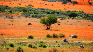 【アフリカ】乾燥地帯に咲き誇る、奇跡のような花畑