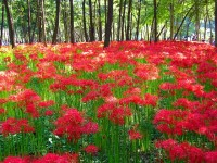 【都内近郊】初秋を真っ赤に染め上げる彼岸花スポット3選