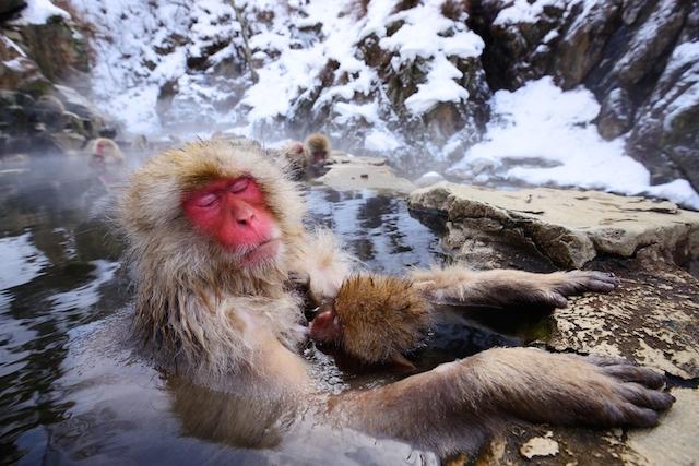 スノーモンキーを一目見たい・・地獄谷野猿公苑