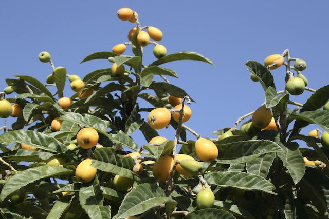 """驚くべき健康効果をもたらす、""""あの""""フルーツの葉っぱ"""