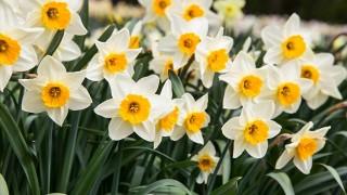 早春を告げる花 かぐわしい水仙に惹かれて